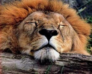 sleepinglion.jpg